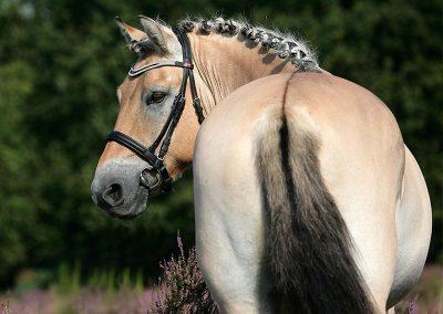 Fotoshoot paard op de hei